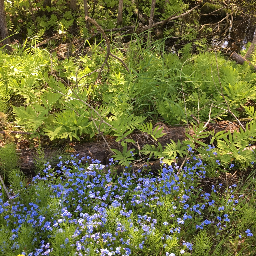 forget me not flowers in a forest setting